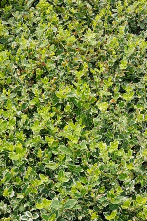 gaiety: Euonymus emerald gaiety, groundcover plant in the garden
