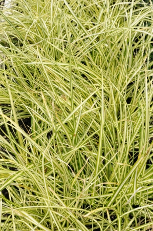 carex: Carex oshimensis variety Evergold, decorative plant in the garden