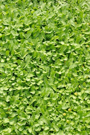 groundcover: Groundcover plant, decorative texture in the garden Stock Photo