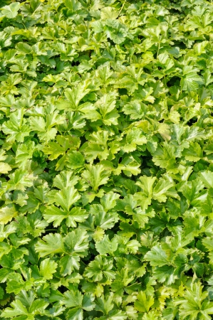 groundcover: Waldsteinia ternata, decorative groundcover plant in the garden