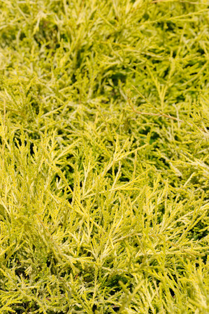 groundcover: chameacyparis pisifera filifera, groundcover plant, decorative texture in the garden