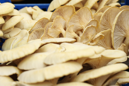 fruiting: fruiting bodies of golden oyster mushroom, edible gilled fungus