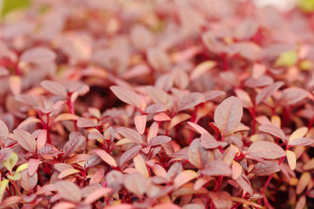 substrate: Cress varieties scarlet on artificial substrate, close-up Stock Photo