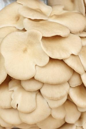 fruiting: fruiting bodies of mushroom, edible gilled fungus  Stock Photo
