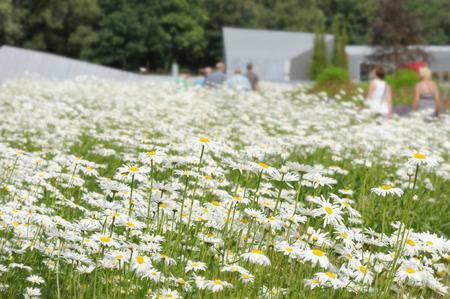 shasta daisy: White daisy flowers on a summer green meadow