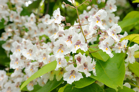 Tree with large white flowers catalpa bignonioides stock photo stock photo tree with large white flowers catalpa bignonioides mightylinksfo