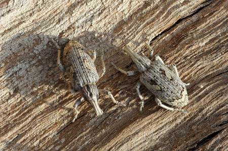 coleoptera: Closeup of the nature of Israel - two weevils Stock Photo