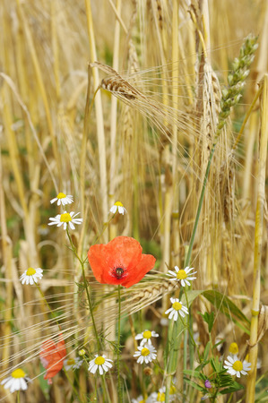 Flowers growing on the edge of the grain fields