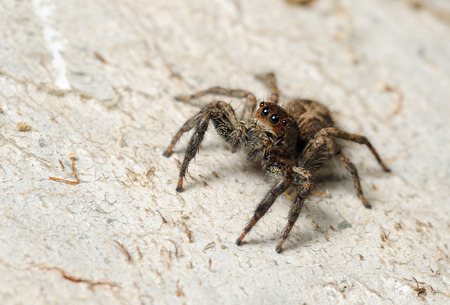 salticidae: Closeup of the nature of Israel -  Salticidae spider on the tree Stock Photo