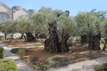 Old olive trees in the Garden of Gethsemane in Jerusalem Stock Photo