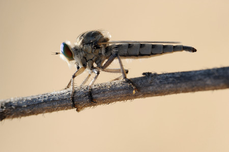 asilidae: Closeup of the nature of Israel - asilidae on the twig