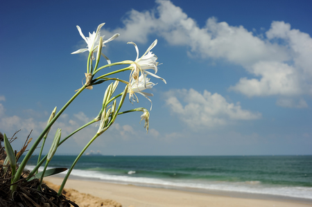 Large white flower Pancratium maritimum on the sandy shores of the Mediterranean Sea in Israel