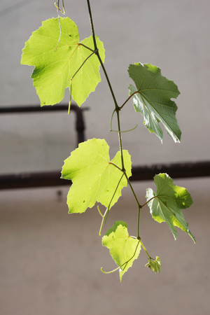 Sprig of the grapes against the background of the old house