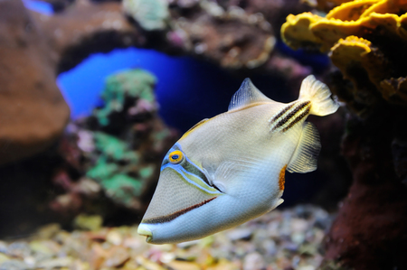 triggerfish: Fish, coral and other bright and colorful inhabitants of the Red Sea.