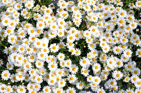 Densely growing in the flowerbed white flowers Leucanthemum