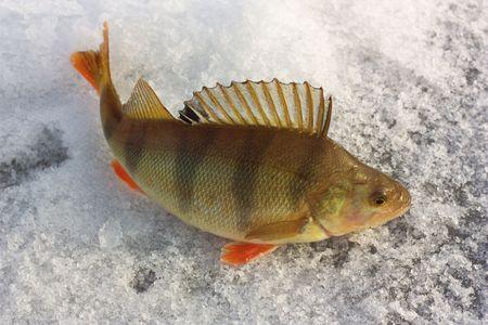 The perch. Winter fishing