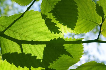 elm: sheet of the elm at sunshines