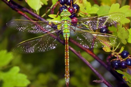 animal vein: Dragonfly in coverture after rain Stock Photo