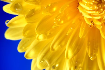 Yellow chrysanthemum on blue background