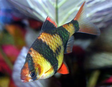 tetra fish: Aquarium fish