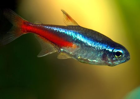 Aquarium fish (Neon tetra) Stock Photo - 4674716