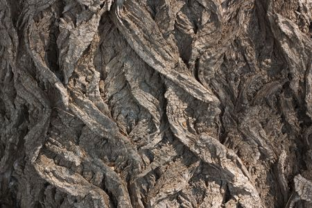 Bark of an old poplar Stock Photo - 5118475