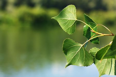 Leaves of a poplar Stock Photo