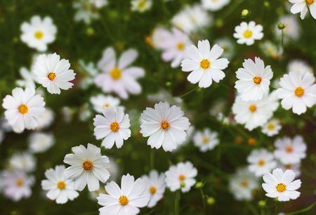 Flowers (Cosmos)