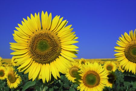 Sunflower Stock Photo - 7475483