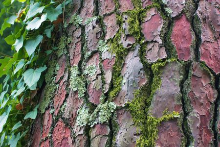 Bark of an old tree Stock Photo - 7806658