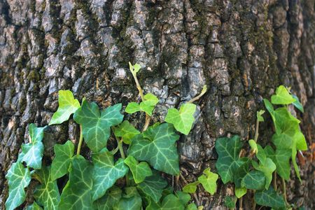 Ivy on old tree background Stock Photo - 7868459