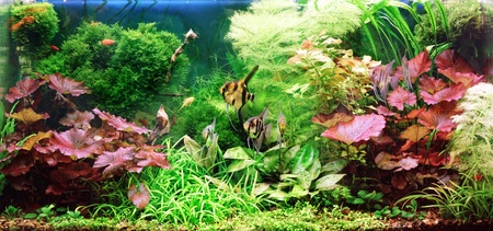 anubias: Decorative aquarium Stock Photo