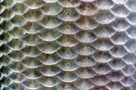 fish scales: Macro shot of roach fish skin, natural texture. Close-up background. Stock Photo