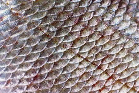Macro shot of roach fish skin, natural texture  Closeup background  photo
