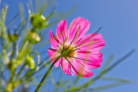 sunshines: Flower in sunshines on blue sky background.