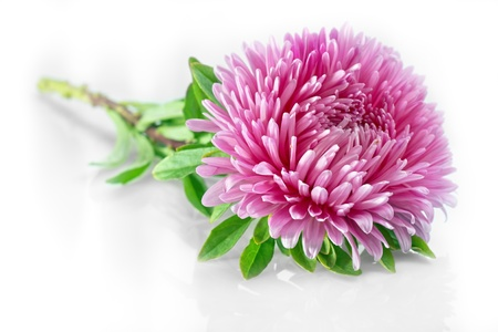 Flower aster on white background. Stock Photo