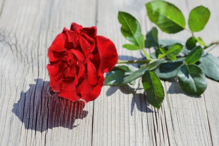 sunshines: Rose red on wood background at sunshines