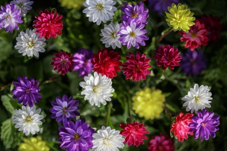 Freshness flowers asters on blured background. photo