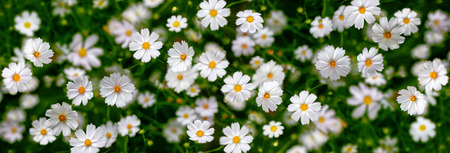 a panorama: White flowers (Cosmos). Abstract background. Panorama. Stock Photo