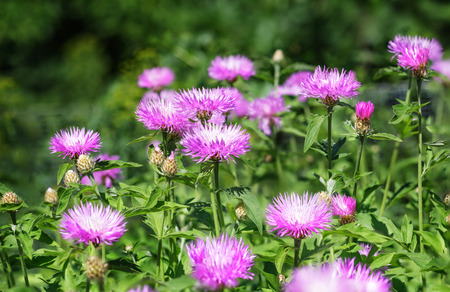 Aster Stokesia laevis flower in bloom