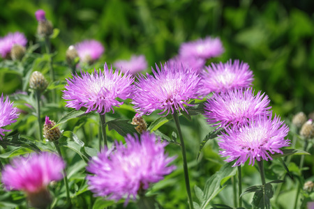 laevis: Aster Stokesia laevis flower in bloom