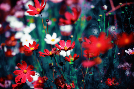 Beautiful flowers in the garden (Cosmos). Abstract background.