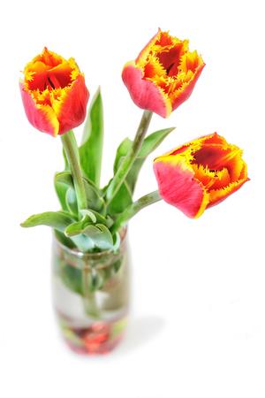 frescura: Flores de tulipanes de frescura rojas sobre fondo blanco. Aislado. Foto de archivo