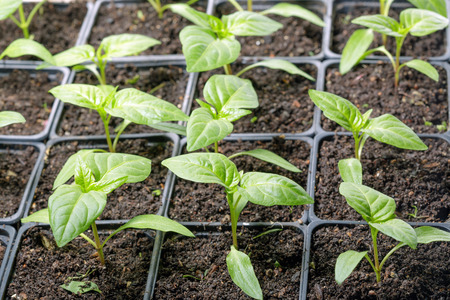 Fresh peppers seedling background macro shot photo Stock Photo