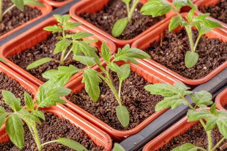 Fresh tomato seedling background macro shot photo Stock Photo