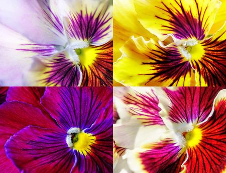 Viola tricolor. Beautiful flower, closeup.