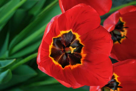 Spring bouquet red freshness tulips