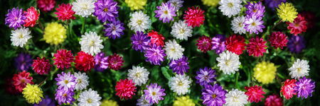 Freshness flowers asters on blured background. Flowers collage. Stock Photo