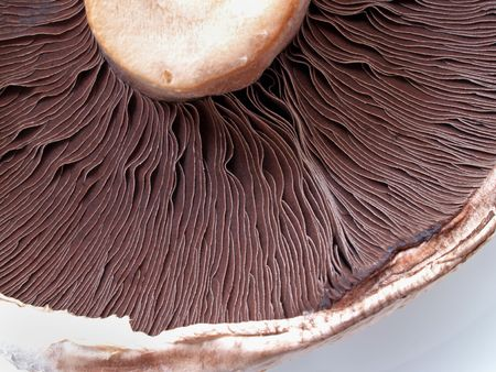 fungous: Large field mushroom
