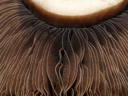 gills: Mushroom gills